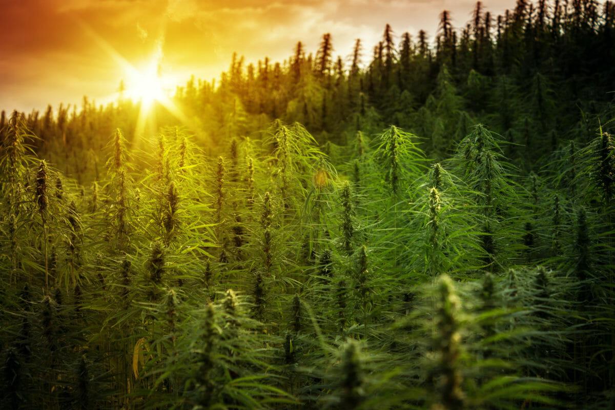 Tennessee Harvester Enterprises hemp plants
